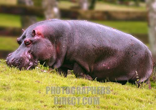 All About Hippopotamus: Introduction