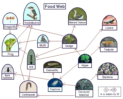 Food chains and webs whats for dinner worksheet answers